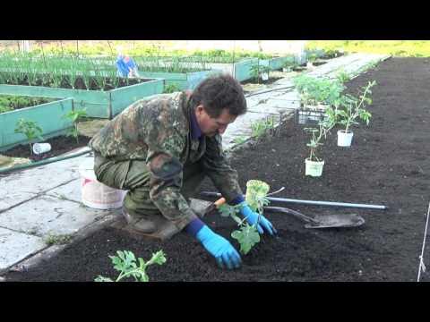Выращивание арбузов в Средней Полосе. Посадка арбузов 2016 год.