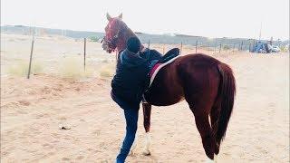 (شجاع ٧ ) لنشات وبداية امتطاء صهوته - حصان ضخم وجبر