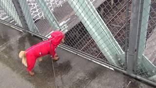 ちゃいは初めての雨の日散歩は、はしゃいじゃって大変だったけど なつめ...