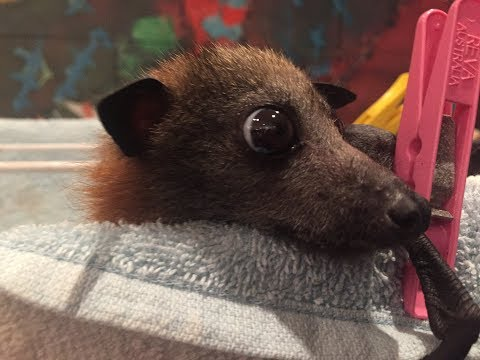 Juvenile flying-fox in care:  this is Tim Tam with Maggie