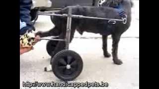 Паралич задних конечностей у собаки, коляски для собак - фото собак