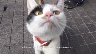 【近所の猫歩き】お父さんと一緒に散歩してる三毛猫