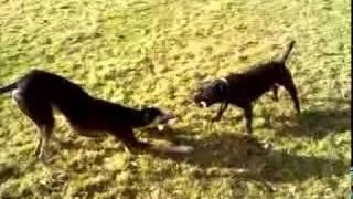 Zeus My Long Dog (saluki X Greyhound) & Rocky My Mates Staff  (better Days)