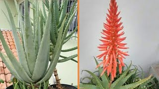 Como Cultivar Sua Aloe De Forma Correta