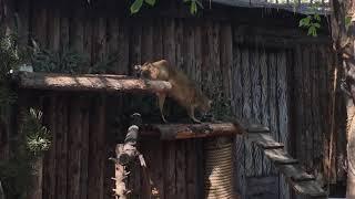 Камышовый кот в Московском зоопарке