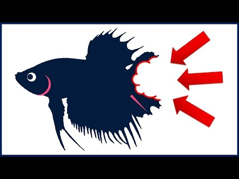 How To Stop Betta Fish Tail Biting