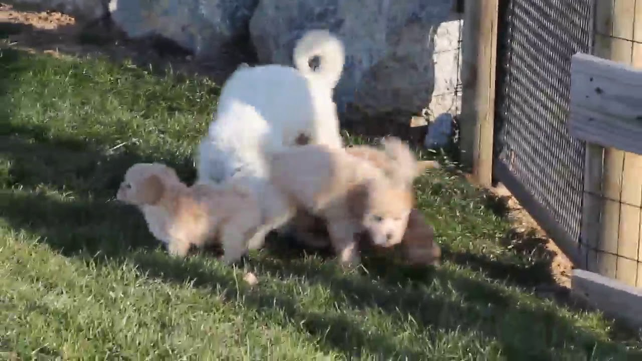 Bich Poo Puppies For Sale Youtube