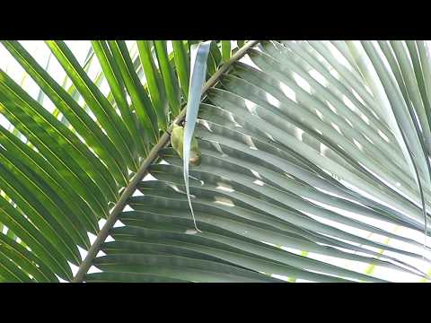 Sri Lanka Hanging Parrot at Kithulgala on Wild About Travel tour