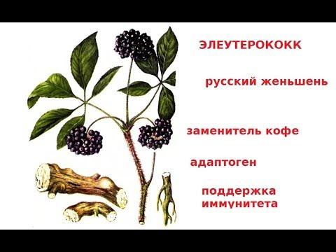 #ЭЛЕУТЕРОКОКК Весенний упадок сил - настойка ЭЛЕУТЕРОКОККА, русский женьшень
