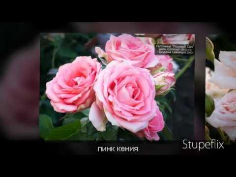 Бордюрные розы - лучшие сорта саженцев роз почтой