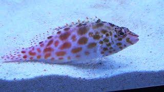 ヒメゴンベ Pixy hawkfish Cirrhitichthys oxycephalus  スズキ目スズキ亜目ゴンベ科オキゴンベ属