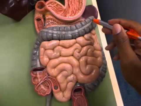 Anatomy & Physiology: Digestive System Model Walkthrough - YouTube