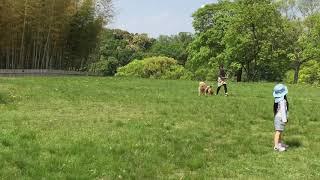 山田池公園の芝生でテンションが上がる、四国犬・大和(ヤマト)9ヶ月.