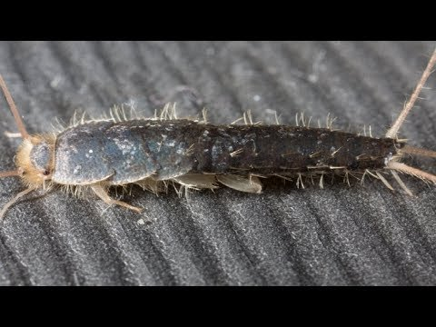How To Get Rid Of Silverfish Fast Naturally.