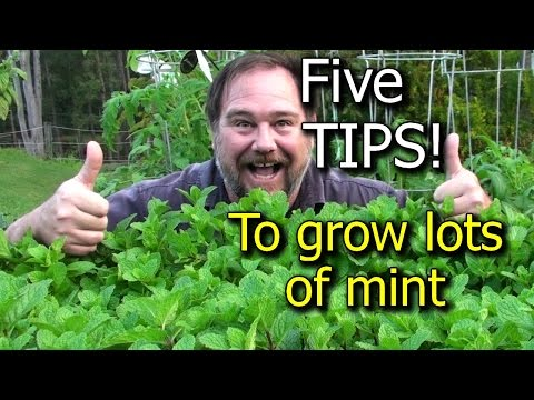 5 Tips How To Grow A Ton Of Mint In One Container Or Garden Bed