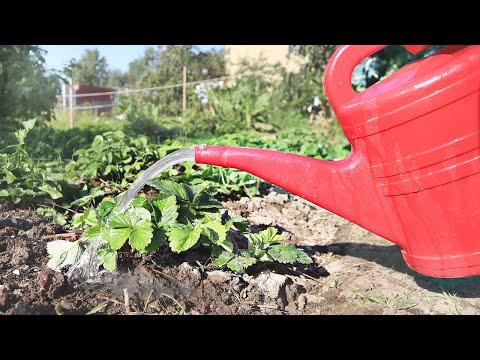 Этим удобрением поливать клубнику осенью одно удовольствие! Знаю 100% ягода будет очень крупной.
