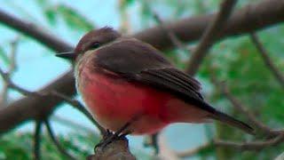 ④ Vermilion flycatcher Pyrocephalus rubinus Mosquero sangretoro Rubintyrann