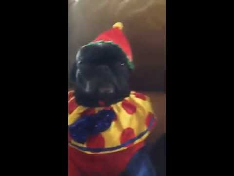 MAD PUG CLOWN