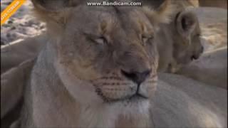 Lwy Afryka Safari   ......Mamo mleka