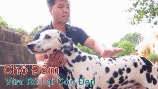 Chó Đẹp & Giá Sinh Viên Là Đây Chứ Đâu/ Chó Đốm - Dalmatian/ NhamTuatTV - Dog in Vietnam