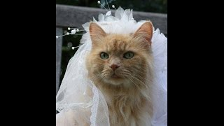 Cat Wedding Pictures