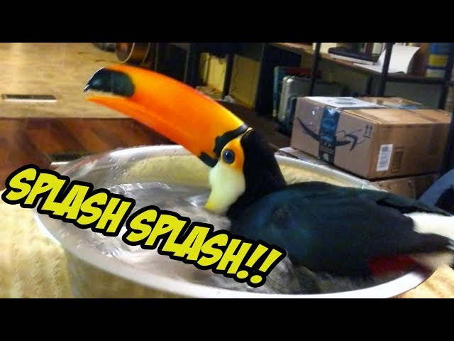 Toucan LOVES Playing in Water!!!