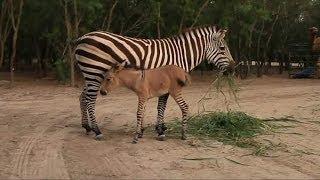 Rare 'Zonkey' Born At Reynosa Zoo In Mexico