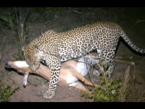 Hyenas Dominate A Leopard With A Kill - Latest Wildlife Sightings