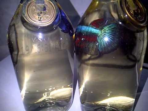 84 Gambar Ikan Cupang Hijau HD Terbaik