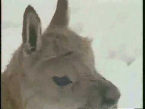 Tibetan Antelope- Chiru.