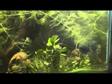 Мраморные гурами в аквариуме. От брачных игр, до икры.