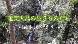 奄美大島の生きものたち~昼間の動物たち~