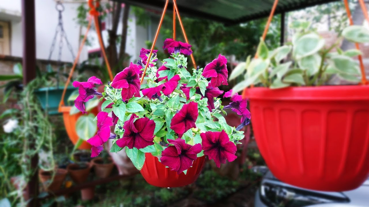 Grow Petunia From Seed In Hanging Basket Hindi Urdu Youtube