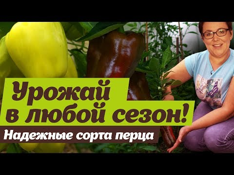 Надежные сорта перца.  Урожайные и крупноплодные | болгарский | секретов | светлана | посадить | налетова | сладкий | огород | сорта | перца | перец