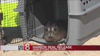 Mystic Aquarium Harbor seals released back into ocean