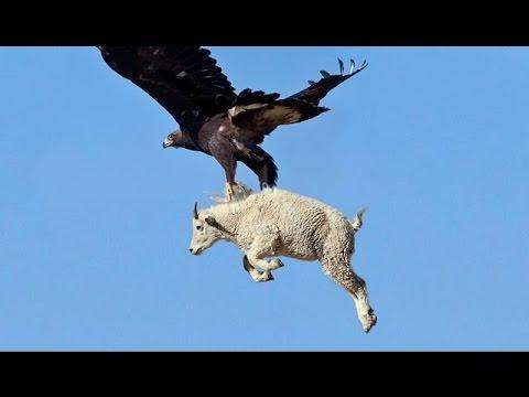Eagles Lifts Dog  Eagles VS Goat  Eagles Attack Kill