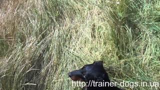 Школа охотничьих собак trainer dogs in ua (аппортировка)