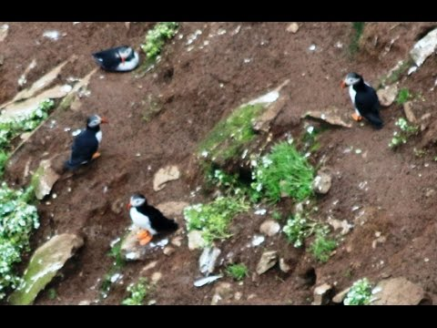 Rathlin Island visit to see the Puffins on 15th June 2016