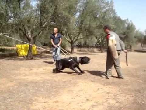 Neo Mastiff Training Goldenacresdogs