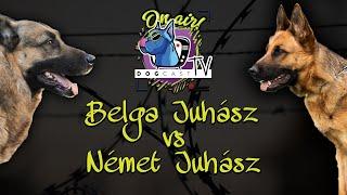 Belga juhászkutya vs Német juhászkutya!  Őrzővédő kutya bajnokság! DogCast TV