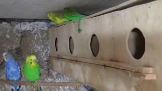 Волнистые попугаи, первый осмотр гнезд.