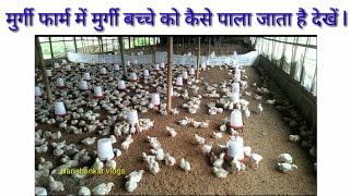 मुर्गी फार्म में मुर्गी बच्चे को कैसे पाला जाता है देखें l Bihar famous murgi form
