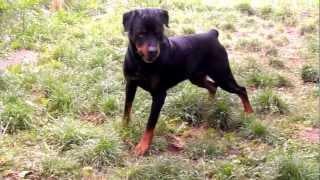 Staffordshire Bull Terrier (gimbo) Vs Rottweiler.