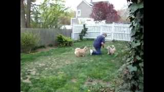 Cairn Terriers Playing Aka Why My Grass Does Not Grow!