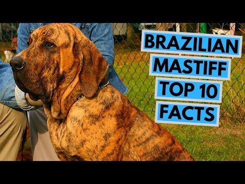 Brazilian Mastiff - TOP 10 Interesting Facts