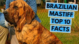 Brazilian Mastiff  TOP 10 Interesting Facts