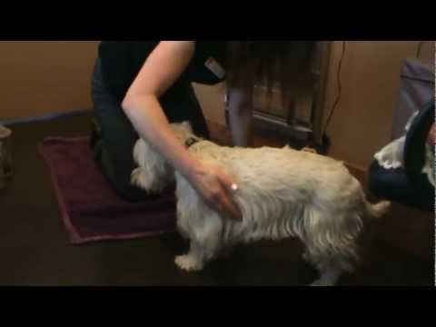 Calgary Vet shows Tui Na massage Techniques on a dog, a Traditional Chinese Veterinary Medicine