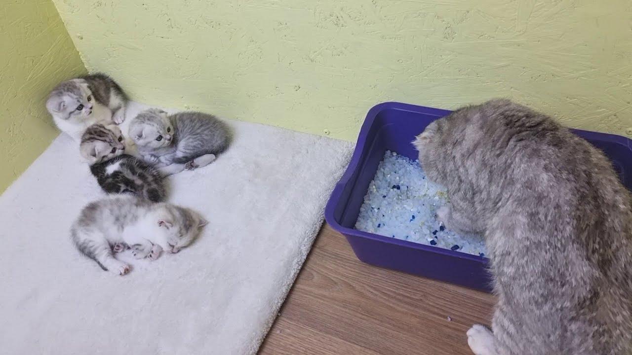 Мама кошка учит котят кушать сухой корм и ходить в туалет с наполнителем силикагель