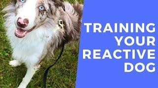 Fudge - Training Your Reactive Collie - 3 Weeks Dog Boot Camp