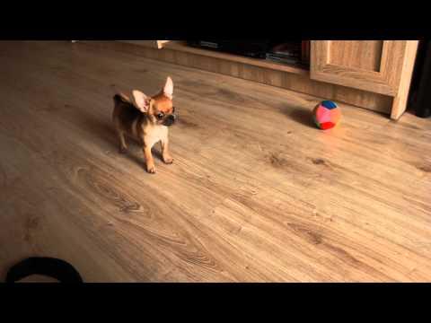 Andre Kadachi - nasz groźny pies Chihuahua
